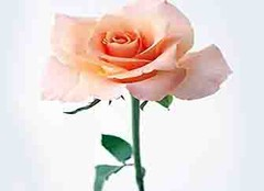 香槟玫瑰的花语 玫瑰花花语大全