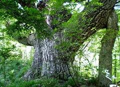 橡树介绍 橡树有什么作用