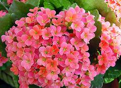 长寿花怎么养?长寿花养殖方法详解