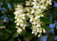 洋槐花蜂蜜对女性好吗?洋槐花蜂蜜价格介绍