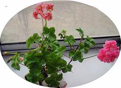 天竺葵的特征 天竺葵的养殖方法