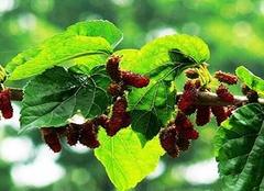 桑叶的功效与作用及食用方法