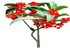 桂花品种有哪些分类 月桂是桂花吗