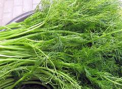 茴香菜的生长习性 茴香菜种植方法介绍