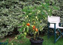 盆栽西红柿的种植技术 盆栽西红柿如何种植