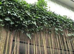 攀爬植物的功能和作用有哪些