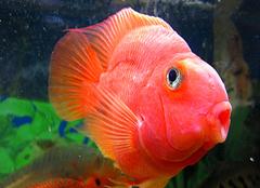 鹦鹉鱼是什么?鹦鹉鱼怎么养详细介绍