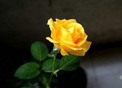 黄玫瑰的花语是什么 黄玫瑰的花语有什么寓意