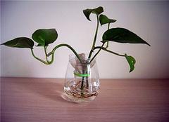 水培绿萝简介 水培绿萝的养殖方法讲解