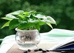 绿萝叶子发黄的原因解析 水培绿萝的养殖注意事项