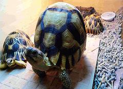 陆龟种类怎么选择 养殖陆龟选购技巧