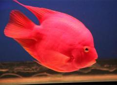 血鹦鹉鱼养殖注意事项 血鹦鹉鱼的招财风水
