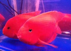 金刚鹦鹉鱼的由来 金刚鹦鹉鱼养殖方法