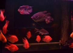 鹦鹉鱼常见病有哪些 鹦鹉鱼常见病防治措施