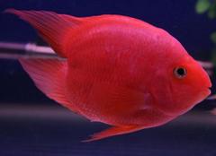 鹦鹉鱼的品种有哪些?鹦鹉鱼种类详细介绍
