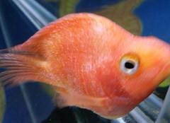 七大鹦鹉鱼常见病及其防治方法