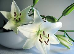 百合花种植方法介绍 百合花的种植环境要求