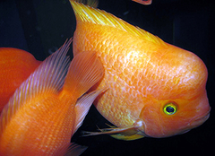 如何培养鹦鹉鱼?金刚鹦鹉鱼的两大养殖技巧介绍