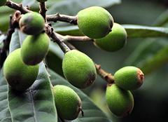 枇杷果五大营养价值介绍 正确食用枇杷果