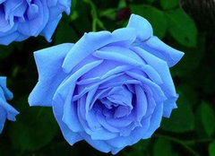 蓝色妖姬花语是什么 蓝色妖姬代表什么