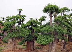 三大景观树种植要点详细讲解
