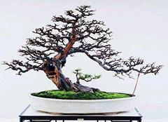 雀梅盆景栽培方法 赶紧试试吧!