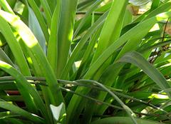 九种吊兰的养殖方法注意事项详解