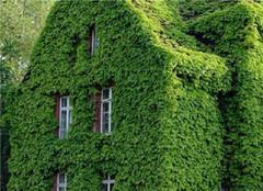 耐寒爬墙植物首选爬墙虎