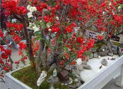常见木本植物盆景 让你大开眼界