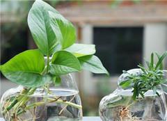 水培植物换水分几步 你都做对了吗