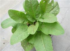 金不换植物的养殖方法 教你如何养好金不换