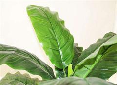 室内大叶子绿色植物有哪些 你家里的都放对了吗