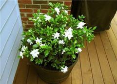 盆栽植物栀子花怎么养 细节要注意