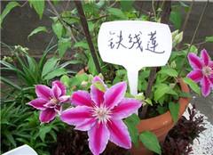藤本皇后铁线莲—原来这么好养