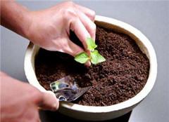 盆栽植物土壤板结怎么办 看了你就知道