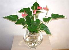 水培花卉植物怎么样 看了你就知道