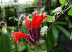 口红花养殖方法和注意事项有哪些 一起来看看