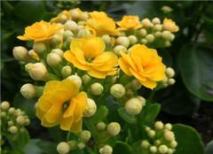 如何养好长寿花 让你的长寿花更长寿