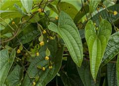 高产药用植物有哪些 常见的很好养