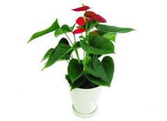 室内水培植物红掌养殖 说难也不难