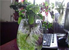 水培植物营养液的用法 掌握科学养殖方法