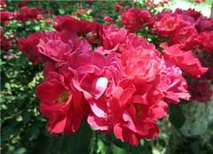 北方室外盆栽花卉推荐 耐寒又好养