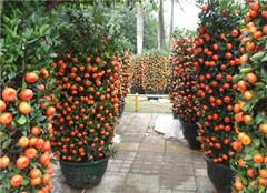 盆栽植物金橘 好看又好吃