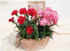 养好盆栽植物康乃馨 来年给母亲一份温暖的爱