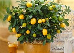 小金橘盆栽植物 喜气洋洋好彩头