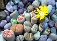 生石花日常养护的小诀窍 生石花花茁壮成长