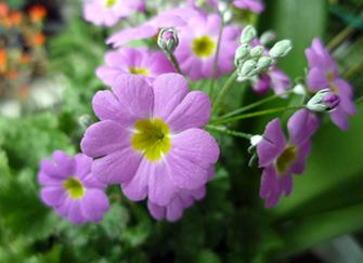 樱草花养殖小诀窍 让家居更绚丽