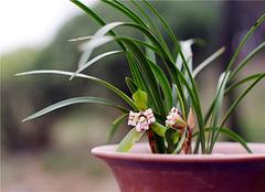 兰花养殖小诀窍 让花朵更靓丽