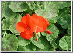 天竺葵养殖小诀窍 让花香满居