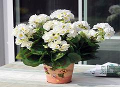 天竺葵养殖要点解析 让花朵更繁盛